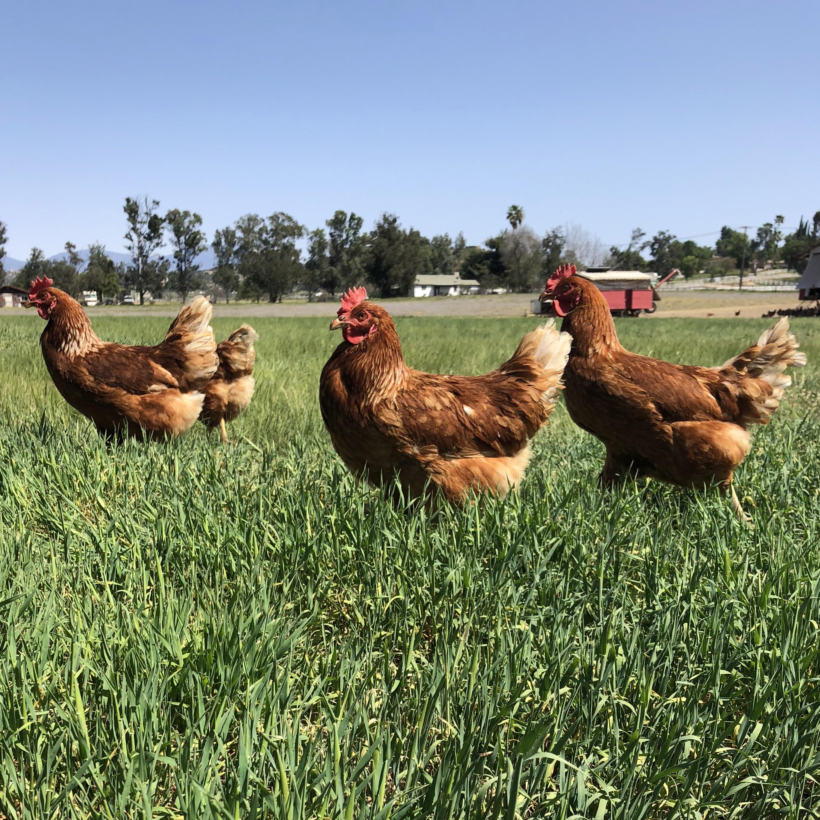 Eben-Haezer's Happy Hens | Your local source for truly