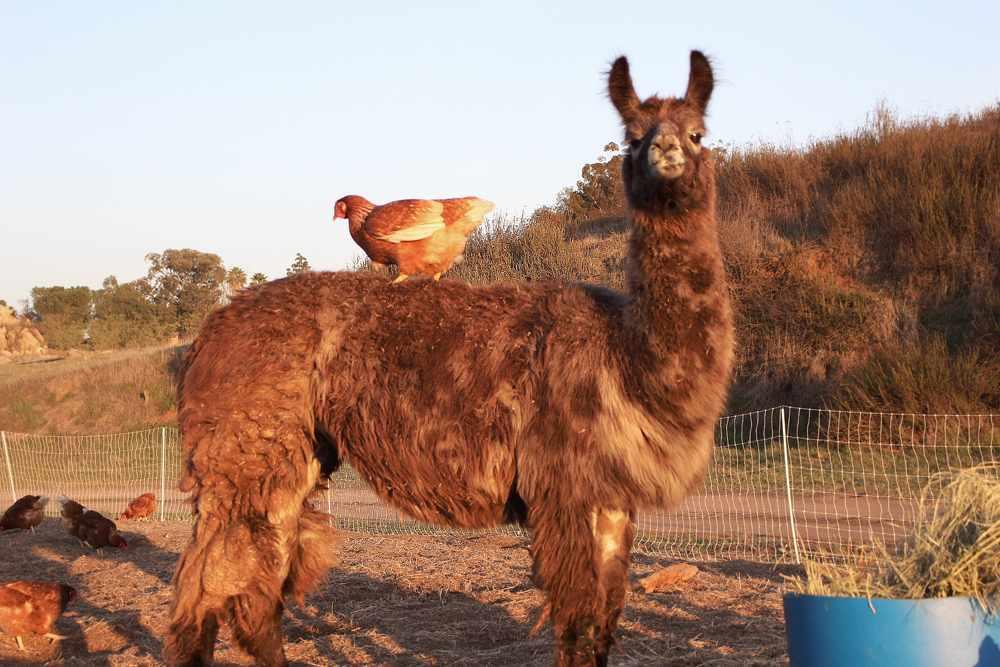 Llama and Chickens